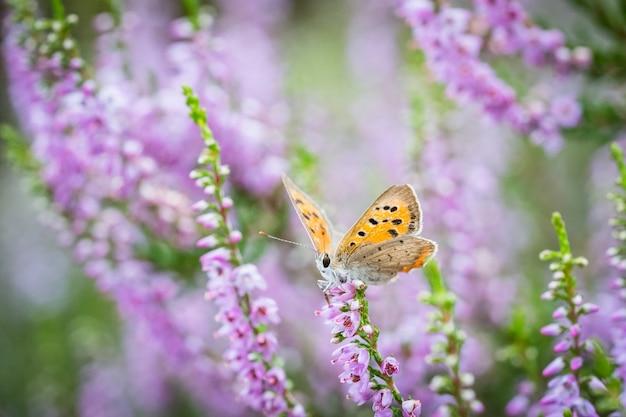開花ピンクヘザーのplebeiusargus蝶の選択的なフォーカスショット