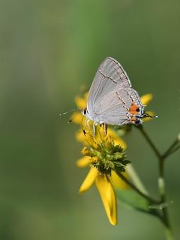 Селективный снимок короткохвостого синего на цветке