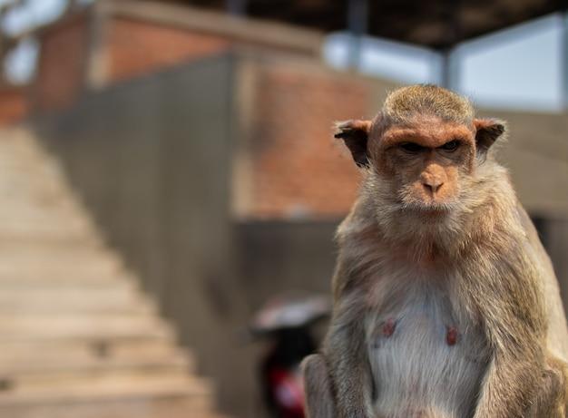 태국에서 태국 영장류 원숭이의 선택적 초점 샷