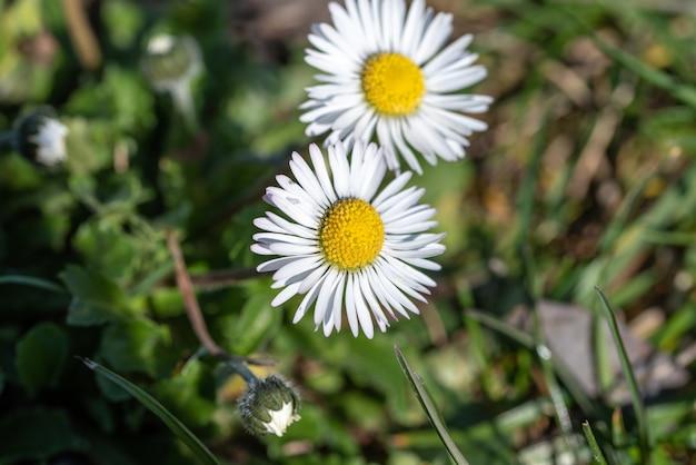 白いデイジーの花のセレクティブフォーカスショット