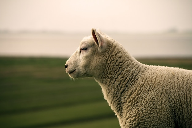 白い羊のセレクティブ フォーカス ショット