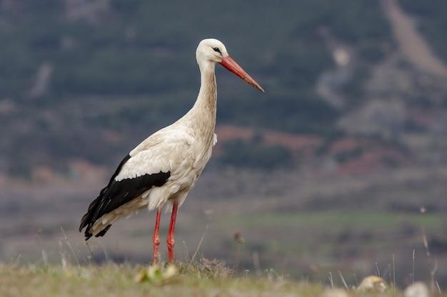 잔디 덮인 들판에 자랑스럽게 서있는 흰 황새의 선택적 초점 샷