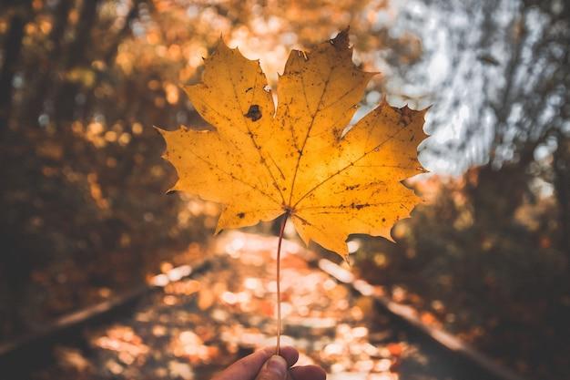 화창한 날에 노란색 단풍나무 잎의 선택적 초점 샷