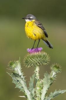 가시가 많은 식물에 앉아 노란색 할미새의 선택적 초점 샷