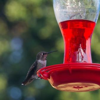 Селективный снимок молодой колибри, сидящей на кормушке для птиц