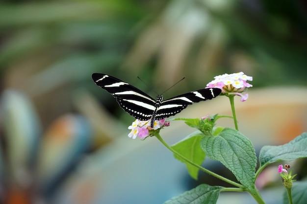 밝은 분홍색 꽃에 날개가 열린 얼룩말 롱윙 나비의 선택적 초점