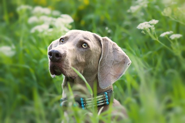 낮 동안 야외에서 사랑스러운 weimaraner 강아지의 선택적 초점 샷