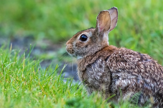 緑の野原でのトウブワタオウサギの選択的フォーカスショット