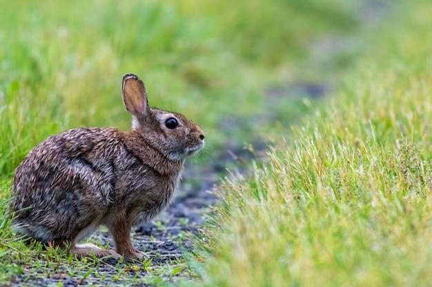 녹색 들판에 있는 동부 솜꼬리 토끼의 선택적 초점