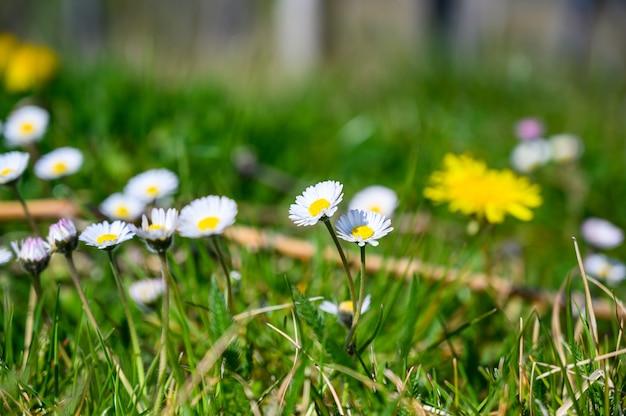 잔디 덮인 필드에 아름다운 흰색 데이지 꽃의 선택적 초점 샷