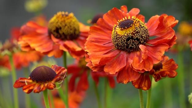 咲く一般的なヘレニウムのセレクティブフォーカスショット