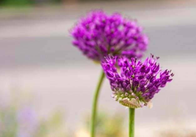 咲くレッドクローバーのセレクティブフォーカスショット
