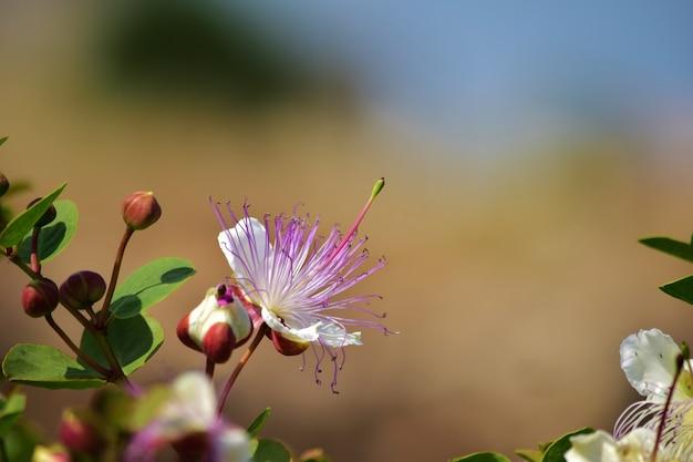 케이퍼 식물 꽃의 선택적 초점 샷
