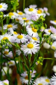 Селективный фокус выстрел ромашки в поле травы