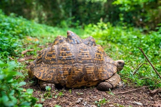 잔디에 사막 거북이의 선택적 초점 샷