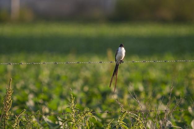 有刺鉄線の柵に腰掛けたズグロエンビタイランチョウのセレクティブフォーカスショット