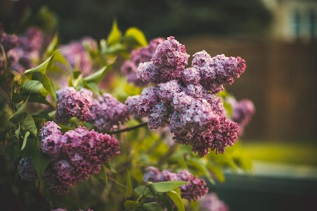 畑に咲くライラックの花のセレクティブフォーカスショット