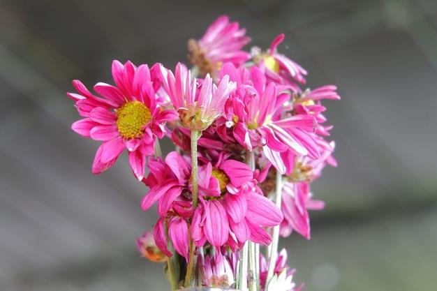 흐린 된 벽에 분홍색 국화 꽃의 선택적 초점 샷