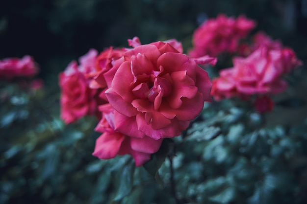 庭のピンクのバラの選択的なフォーカスショット