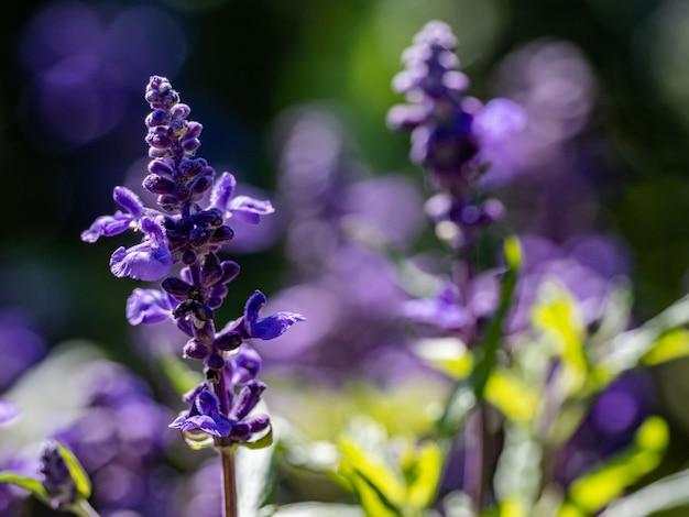 Снимок фиолетовой лаванды в поле с селективной фокусировкой - идеально подходит для съемки на поверхности