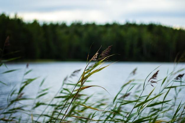 風に揺れる川の横にある葦のセレクティブフォーカスショット