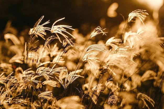 金色の日光の下でのスイートグラスの枝の選択的なフォーカスショット