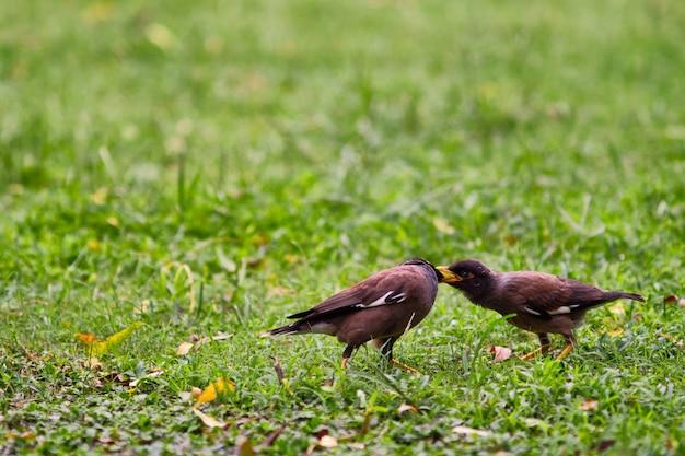 잔디밭에서 서로 싸우는 common mynas의 선택적 초점 샷