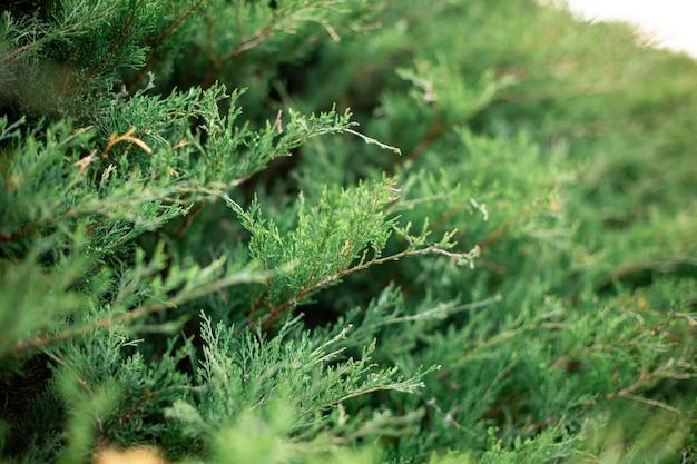 Thuja常緑樹の枝の選択的なフォーカスショット