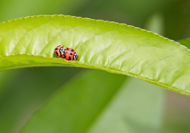 美しい緑の葉で交尾する2つのテントウムシの選択的なフォーカスショット