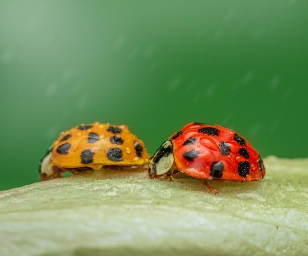 水滴と緑の葉の上に腰掛けて2つのてんとう虫の選択的なフォーカスショット