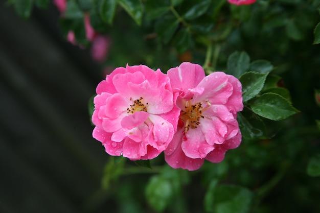 네덜란드 트벤테의 자연 속에서 두 개의 핑크 갈릭 장미 머리의 선택적 초점 샷