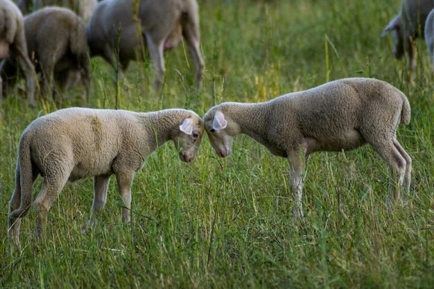頭を一緒に抱きしめる2匹の白い羊の選択的なフォーカスショット