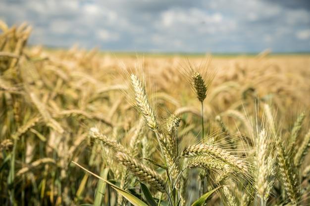 필드에서 성장하는 밀 가지의 선택적 초점 샷