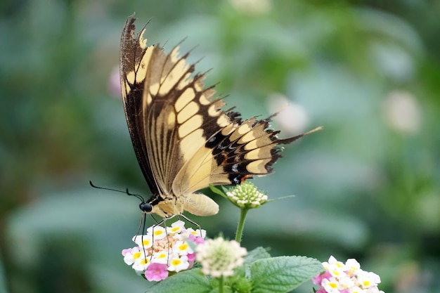 Selective focus shot of an old world swallowtail butterfly perched on a light pink flower