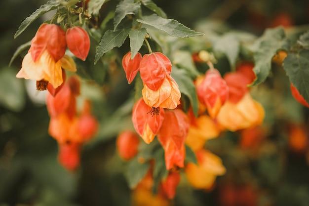 Messa a fuoco selettiva di fiori di abutilon arancioni