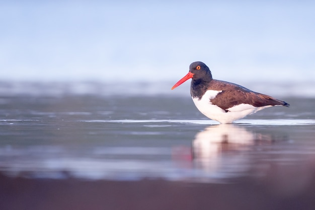 Selective focus shot of an oystercatcher in the lake