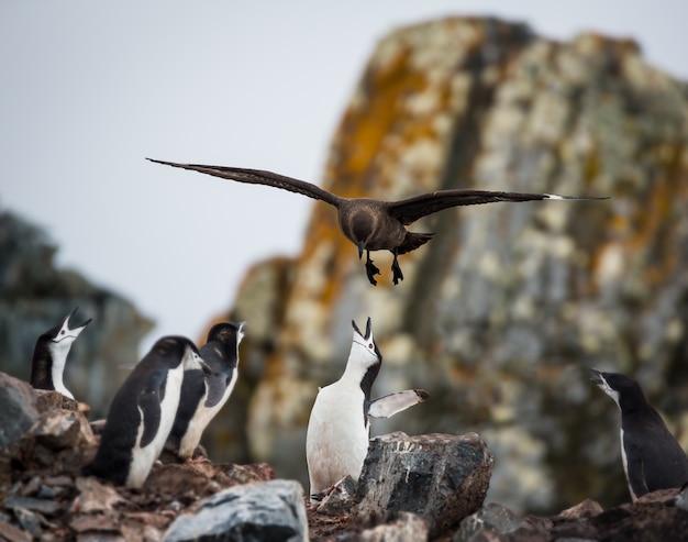 Selective focus shot of a penguin feeding her babies in antarctica