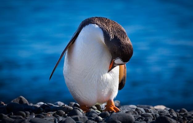 Colpo di messa a fuoco selettiva di un pinguino in piedi sulle pietre a testa in giù in antartide