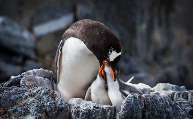Selective focus shot of a penguin with her babies in antarctica