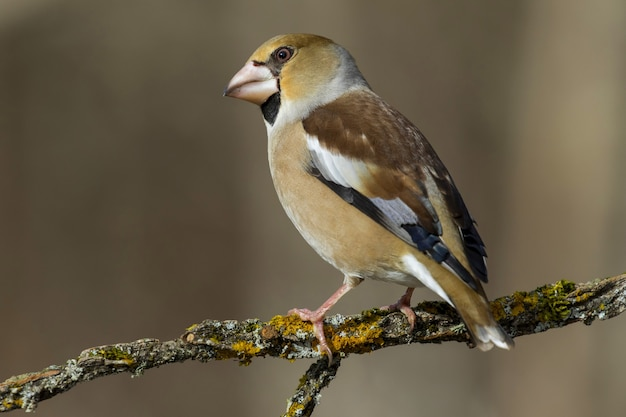 Selective focus shot of a perched on a hawfinch bird branch with a blurred background