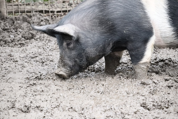 Selective focus shot of a pig standing in a mud