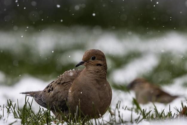 Messa a fuoco selettiva colpo di un piccione sul campo coperto d'erba in una giornata nevosa