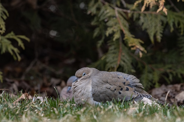 Selective focus shot of a pigeon on a grassy field