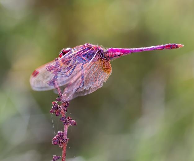 Messa a fuoco selettiva di una libellula rosa nel suo ambiente naturale