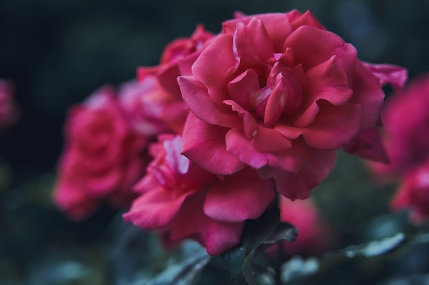Messa a fuoco selettiva colpo di rose rosa in giardino