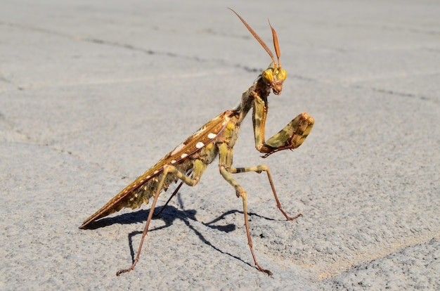 Selective focus shot of praying mantis in a concrete road with a blurred