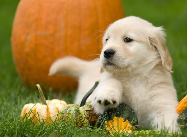 Selective focus shot of pumpkins on the ground with a cute golden retriever puppy