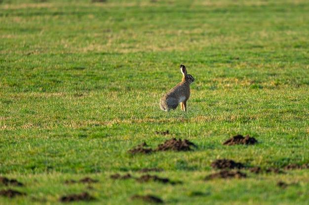 Il colpo di messa a fuoco selettiva di un coniglio si siede sul terreno erboso