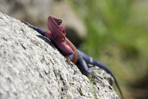 Selective focus shot of a red and blue agama lizard climbing a rock