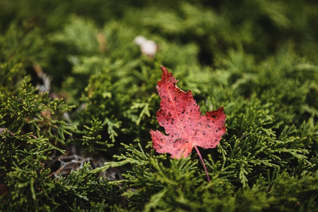 Selective focus shot of a red leaf